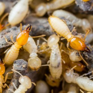 Pest Control Service in Dhaka, Pesticides Company in Bangladesh, Cleaner Company in Bangladesh, termite control in Dhaka, Termite Control in Dhaka